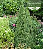 Picea glauca 'Conica', Ялина канадська 'Коніка',C2 - горщик 2л, фото 8