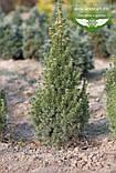 Picea glauca 'Conica', Ялина канадська 'Коніка',C2 - горщик 2л, фото 9