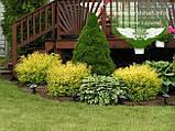Picea glauca 'Conica', Ялина канадська 'Коніка',C2 - горщик 2л, фото 10