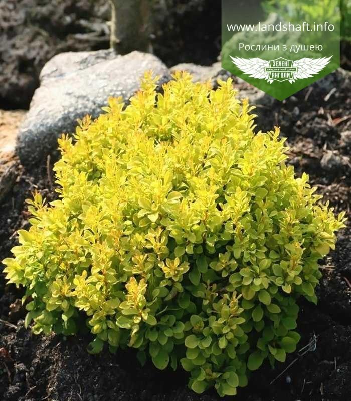 Berberis thunbergii 'Tiny Gold', Барбарис Тунберга 'Тіні Голд',C2 - горщик 2л,15-20см