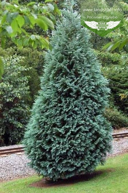 Chamaecyparis lawsoniana 'Alumii', Кипарисовик Лавсона 'Алюмі',P7-Р9 - горщик 9х9х9,10-15см