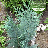 Chamaecyparis lawsoniana 'Alumii', Кипарисовик Лавсона 'Алюмі',P7-Р9 - горщик 9х9х9,10-15см, фото 7