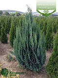 Chamaecyparis lawsoniana 'Alumii', Кипарисовик Лавсона 'Алюмі',C2 - горщик 2л,30-40 см, фото 2