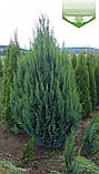 Chamaecyparis lawsoniana 'Alumii', Кипарисовика Лавсона 'Алюмі',WRB - ком/сітка,60-80см, фото 3