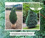 Chamaecyparis lawsoniana 'Alumii', Кипарисовик Лавсона 'Алюмі',WRB - ком/сітка,240-260см, фото 10