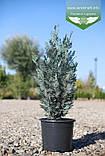 Chamaecyparis lawsoniana 'Blom', Кипарисовика Лавсона 'Блом',P7-Р9 - горщик 9х9х9,10-15см, фото 3