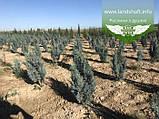 Chamaecyparis lawsoniana 'Blom', Кипарисовика Лавсона 'Блом',P7-Р9 - горщик 9х9х9,10-15см, фото 6