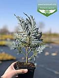 Chamaecyparis lawsoniana 'Blom', Кипарисовика Лавсона 'Блом',P7-Р9 - горщик 9х9х9,10-15см, фото 7