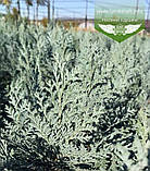Chamaecyparis lawsoniana 'Blom', Кипарисовика Лавсона 'Блом',P7-Р9 - горщик 9х9х9,10-15см, фото 8