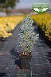 Chamaecyparis lawsoniana 'Blom', Кипарисовика Лавсона 'Блом',P7-Р9 - горщик 9х9х9,10-15см, фото 10