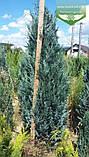 Chamaecyparis lawsoniana 'Blom', Кипарисовика Лавсона 'Блом',C15 - горщик 15л,80-100см, фото 2