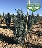 Chamaecyparis lawsoniana 'Blom', Кипарисовика Лавсона 'Блом',C15 - горщик 15л,80-100см, фото 5