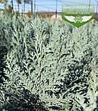 Chamaecyparis lawsoniana 'Blom', Кипарисовика Лавсона 'Блом',C15 - горщик 15л,80-100см, фото 8