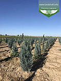 Chamaecyparis lawsoniana 'Blom', Кипарисовика Лавсона 'Блом',C15 - горщик 15л,80-100см, фото 9