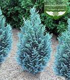 Chamaecyparis lawsoniana 'Blom', Кипарисовик Лавсона 'Блом',WRB - ком/сітка,280-300см, фото 4