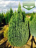 Chamaecyparis lawsoniana 'Ellwood's Gold', Кипарисовик Лавсона 'Елвудс Голд',WRB - ком/сітка,60-80см, фото 2