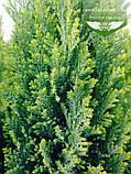 Chamaecyparis lawsoniana 'Ellwood's Gold', Кипарисовик Лавсона 'Елвудс Голд',WRB - ком/сітка,60-80см, фото 3