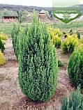Chamaecyparis lawsoniana 'Ellwood's Gold', Кипарисовик Лавсона 'Елвудс Голд',WRB - ком/сітка,60-80см, фото 4