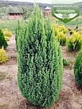 Chamaecyparis lawsoniana 'Ellwood's Gold', Кипарисовик Лавсона 'Елвудс Голд',WRB - ком/сітка,60-80см, фото 5