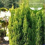 Chamaecyparis lawsoniana 'Ellwood's Gold', Кипарисовик Лавсона 'Елвудс Голд',WRB - ком/сітка,60-80см, фото 6