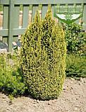 Chamaecyparis lawsoniana 'Ellwood's Gold', Кипарисовик Лавсона 'Елвудс Голд',WRB - ком/сітка,60-80см, фото 9
