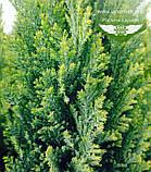 Chamaecyparis lawsoniana 'Ellwood's Gold', Кипарисовик Лавсона 'Елвудс Голд',WRB - ком/сітка,60-80см, фото 10