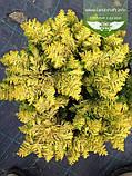 Chamaecyparis lawsoniana 'Jeanette', Кипарисовик Лавсона 'Жанет',WRB - ком/сітка,60-70см, фото 4