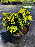 Chamaecyparis lawsoniana 'Jeanette', Кипарисовик Лавсона 'Жанет',WRB - ком/сітка,60-70см, фото 6