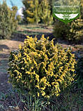 Chamaecyparis lawsoniana 'Jeanette', Кипарисовик Лавсона 'Жанет',WRB - ком/сітка,60-70см, фото 10