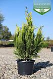 Chamaecyparis lawsoniana 'Lane', Кипарисовик Лавсона 'Лейн',WRB - ком/сітка,80-100см, фото 6