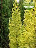 Chamaecyparis lawsoniana 'Lane', Кипарисовик Лавсона 'Лейн',WRB - ком/сітка,120-140см, фото 2