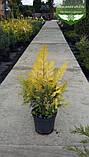 Chamaecyparis lawsoniana 'Lane', Кипарисовик Лавсона 'Лейн',WRB - ком/сітка,140-160см, фото 5