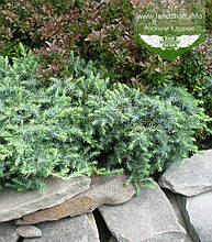 Juniperus conferta 'Schlager', Ялівець прибережний 'Шлягер',P7-Р9 - горщик 9х9х9