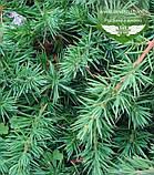 Juniperus conferta 'Schlager', Ялівець прибережний 'Шлягер',P7-Р9 - горщик 9х9х9, фото 4