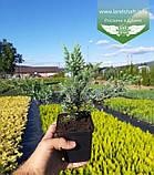 Juniperus conferta 'Schlager', Ялівець прибережний 'Шлягер',P7-Р9 - горщик 9х9х9, фото 5