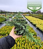 Juniperus conferta 'Schlager', Ялівець прибережний 'Шлягер',P7-Р9 - горщик 9х9х9, фото 6