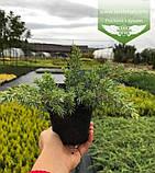 Juniperus conferta 'Schlager', Ялівець прибережний 'Шлягер',P7-Р9 - горщик 9х9х9, фото 7