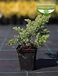 Juniperus conferta 'Schlager', Ялівець прибережний 'Шлягер',P7-Р9 - горщик 9х9х9, фото 8