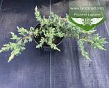 Juniperus conferta 'Schlager', Ялівець прибережний 'Шлягер',P7-Р9 - горщик 9х9х9, фото 9