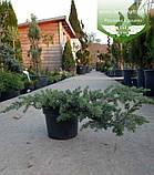 Juniperus conferta 'Schlager', Ялівець прибережний 'Шлягер',P7-Р9 - горщик 9х9х9, фото 10