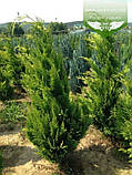 Chamaecyparis lawsoniana 'Stardust', Кипарисовик Лавсона 'Стардаст',C2 - горщик 2л,50-70см, фото 8