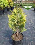 Chamaecyparis lawsoniana 'Stardust', Кипарисовик Лавсона 'Стардаст',C2 - горщик 2л,50-70см, фото 10