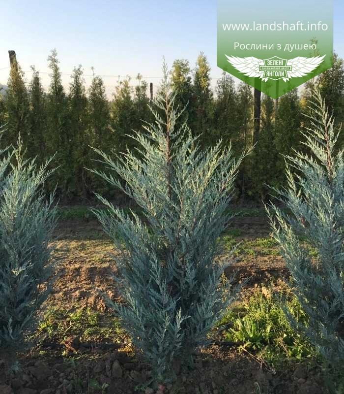 Juniperus scopulorum 'Moonlight', Ялівець скельний 'Мунлайт',WRB - ком/сітка,100-120см