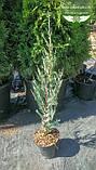 Juniperus scopulorum 'Moonlight', Ялівець скельний 'Мунлайт',WRB - ком/сітка,100-120см, фото 2