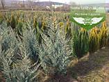 Juniperus scopulorum 'Moonlight', Ялівець скельний 'Мунлайт',WRB - ком/сітка,100-120см, фото 3