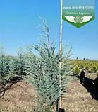 Juniperus scopulorum 'Moonlight', Ялівець скельний 'Мунлайт',WRB - ком/сітка,100-120см, фото 4