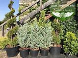 Juniperus scopulorum 'Moonlight', Ялівець скельний 'Мунлайт',WRB - ком/сітка,100-120см, фото 5