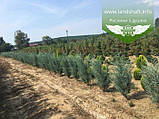Juniperus scopulorum 'Moonlight', Ялівець скельний 'Мунлайт',WRB - ком/сітка,100-120см, фото 6
