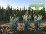 Juniperus scopulorum 'Moonlight', Ялівець скельний 'Мунлайт',WRB - ком/сітка,100-120см, фото 7