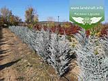 Juniperus scopulorum 'Moonlight', Ялівець скельний 'Мунлайт',WRB - ком/сітка,100-120см, фото 8